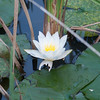 White Water Lily, Nymphaea alba 2318