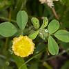Hop Trefoil, Trifolium campestre 4949