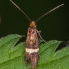 Small Barred Longhorn, Adela croesella 5124