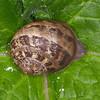 Garden Snail, Helix aspersa 5145