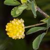 Hop Trefoil, Trifolium campestre 4952