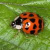 Harlequin Ladybird, Harmonia axyridis 5146