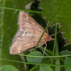 Straw-barred Pearl, Pyrausta despicata 4890