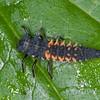 Harlequin Ladybird, fifth instar larva, Harmonia axyridis 5144