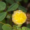Hop Trefoil, Trifolium campestre yellowflora 4951