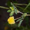 Hop Trefoil, Trifolium campestre 4953