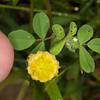 Hop Trefoil, Trifolium campestre 4950