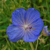 Meadow Cranesbill, Geranium pratense 050