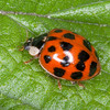 Harlequin Ladybird, Harmonia axyridis 5147