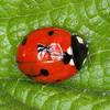 7-spot Ladybird, Propylea 7-punctata 5110