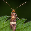 Small Barred Longhorn, Adela croesella 5123-2