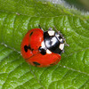 7-spot Ladybird, Propylea 7-punctata 5111