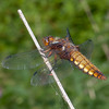 Broad-bodied Chaser ♀, Libellula depressa 4509