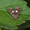 Knapweed Bell, Epiblema cirsiana 4623