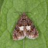Knapweed Bell, Epiblema cirsiana 4642