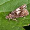 Knapweed Bell, Epiblema cirsiana 4620