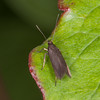 Unmarked Neb, Eulamprotes unicolorella 4528