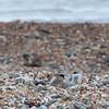Ringed Plover, Charadrius hiaticula 4701