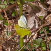 Green-veined White, Pieris napi 8911