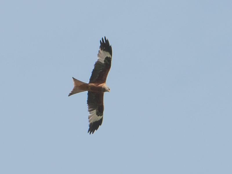Red Kite, Milvus milvus 8947