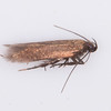 Unmarked Neb, Eulamprotes unicolorella 4318