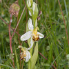 Bee Orchid, Ophrys apifera var chlorantha 4411