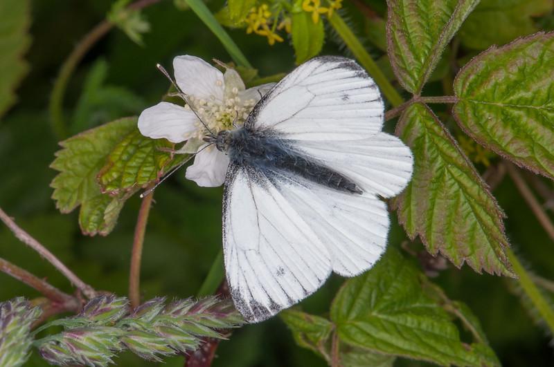 Green-veined White, Pieris napi 3938