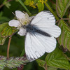 Green-veined White, Pieris napi 3938