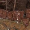 Fluted Bird's Nest, Cyathus striatus 8702