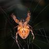 Garden Spider, Araneus diadematus 8715