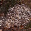 Hen of the Woods, Grifola frondosa 8572