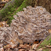 Hen of the Woods, Grifola frondosa 8575