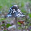 Magpie Inkcap, Coprinus picaceus 6413