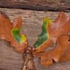 oak tree noid 5534