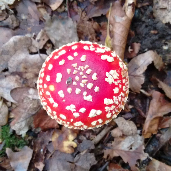 Fly Agaric, Amanita muscaria 101525