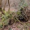 Hoof Fungus, Fomes fomentarius 0931