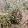 Hoof Fungus, Fomes fomentarius 0933