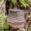 Hoof Fungus, Fomes fomentarius 0932