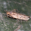Brown House Moth, Hofmannophila pseudospretella 5855