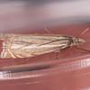 Hook-streak Grass-veneer, Crambus lathoniellus 5778