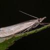 Hook-streak Grass-veneer, Crambus lathoniellus 5661