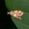 Yellow-spot Twist, Pseudargyrotoza conwagana 5757