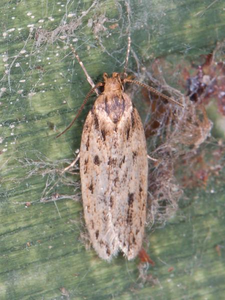 Brown House Moth, Hofmannophila pseudospretella 5852