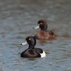 Tufted Ducks, Aythya fuligula 4646