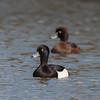 Tufted Ducks, Aythya fuligula 4648