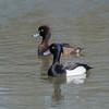 Tufted Ducks, Aythya fuligula 4636
