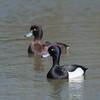 Tufted Ducks, Aythya fuligula 4638