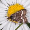 Wavy-barred Sable, Pyrausta nigrata 7483