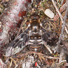 Mottled Bee-fly, Thyridanthrax fenestratus 6784