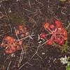 Common Sundew, Drosera rotundifolia 6810